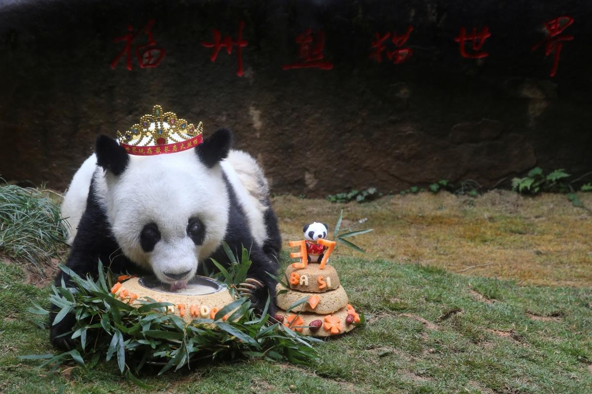 Happy Birthday Basi World S Oldest Captive Panda Turns 37