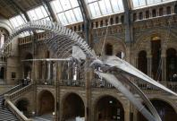 Hope at the Natural History Museum as spectacular blue whale skeleton revealed