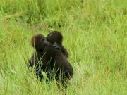 Young gorillas captured in tender embrace