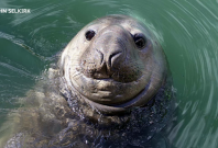 Elephant seals are the only other mammal to use rhythm to talk to each other