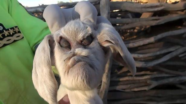Demon baby goat