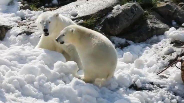 Polar Bears Get Surprise Present To Keep Cool