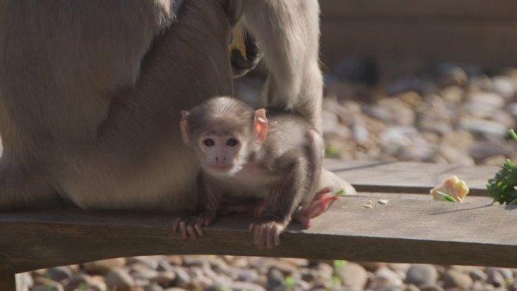 First sacred monkey born at London Zoo