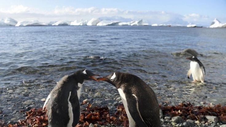Antarctica: Penguin-cams capture Gentoo penguins talking to each other
