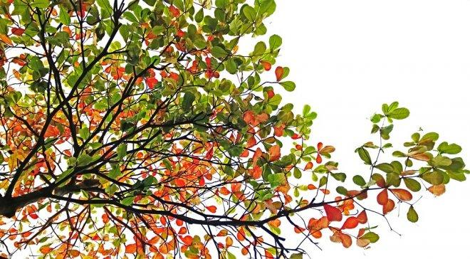 Sea almond tree