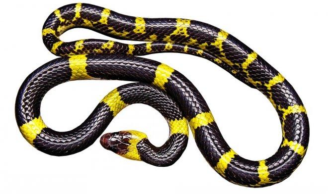 gold ringed snake