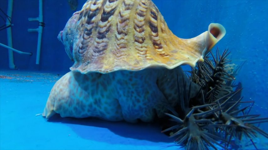 How breeding rare giant sea snails could save the Great Barrier Reef