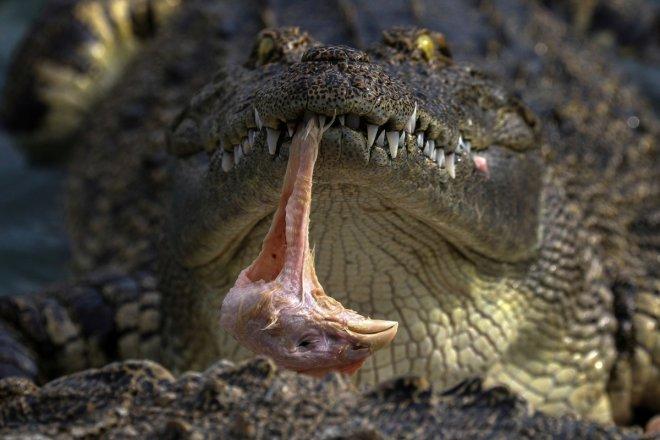 The Wider Image: Thailand's crocodile farms