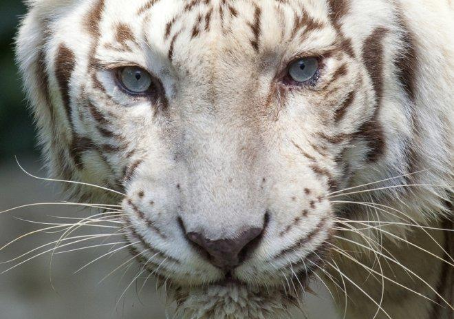 A white Bengal tiger stares at visitors at the Singapore Zoo
