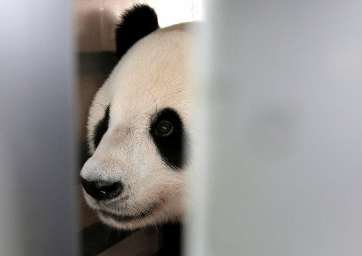 A giant panda on a 10-year loan from China is seen during a welcoming ceremony at Soekarno Hatta airport in Tangerang, Indonesia, September 28, 2017.