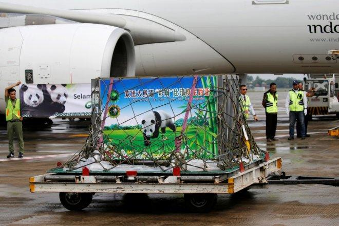 A giant panda on a 10-year loan from China arrives at Soekarno Hatta airport in Tangerang, Indonesia, September 28, 2017