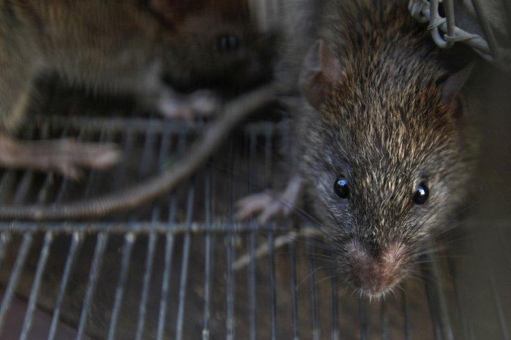 Rats are trapped in a cage after they were caught from a slum area, on the outskirts of Mumbai