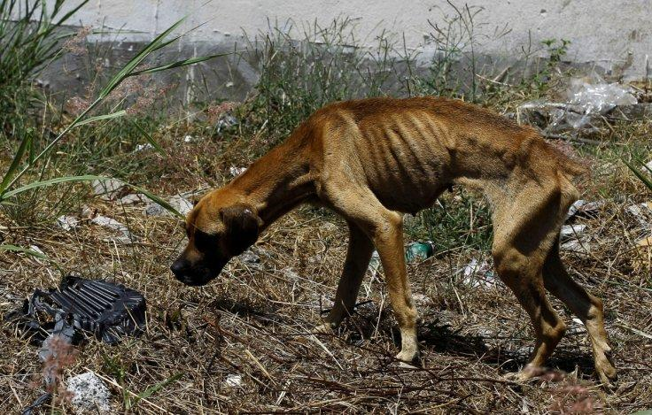 A stray dog walks into an empty lot in San Jose, Costa Rica, April 22, 2016. In a lush, sprawling corner of Costa Rica, hundreds of dogs roam freely on a hillside - among the luckiest strays on earth. Fed, groomed and cared for by vets, more than 750 dogs