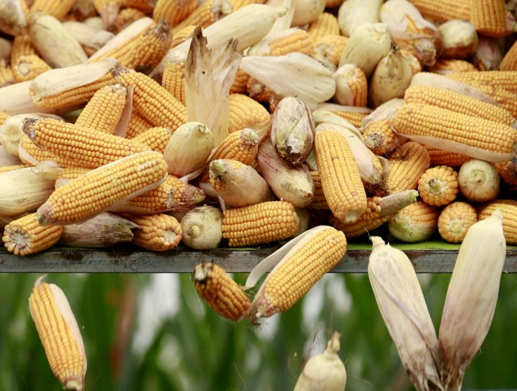 Genetically engineered corn to contain amino acid in meat