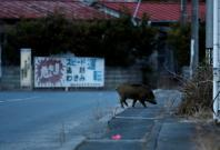 Wild boar walks on a street at a residential area in an evacuation zone