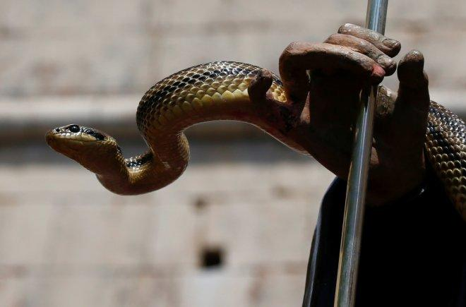 A snake covers a wooden statue of Saint Domenico during a procession in Cocullo