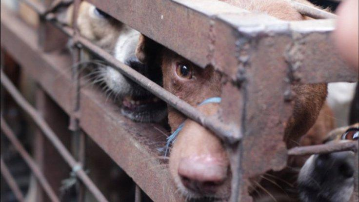 Indonesias dog meat trade exposed in horrific video