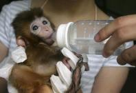 Long tailed baby macaque