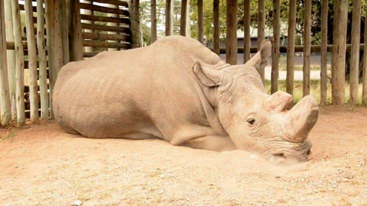 Heartbreaking video shows the last male northern white rhino: This is what extinction looks like