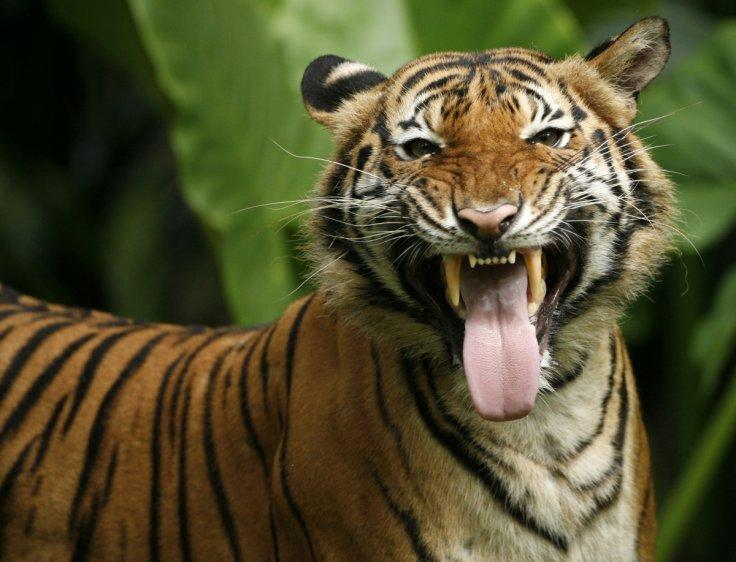 Malaysian tiger killed in road accident