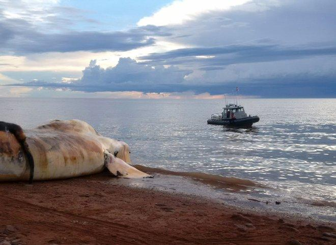 The carcass of a right whale is prepared to be towed out to sea near Norway, Prince Edward Island