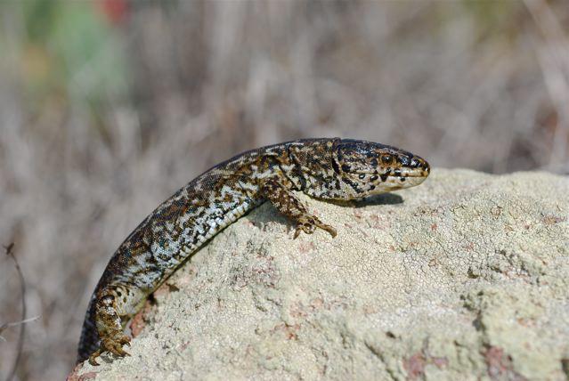 Island night lizard