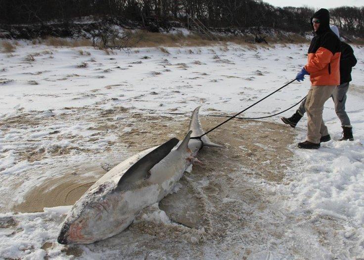 Hiu yang ditemukan membeku di Cape Cod Bay, Amerika Utara.