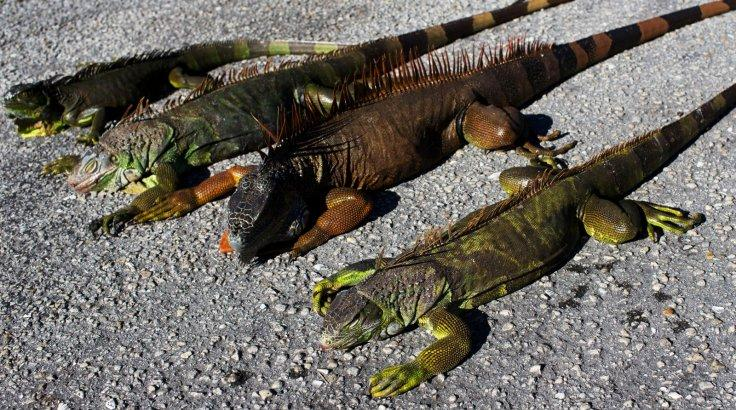 Cold-stunned iguanas are seen following extreme cold weather in Lake Worth