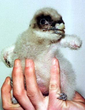 A baby Bearded Vulture