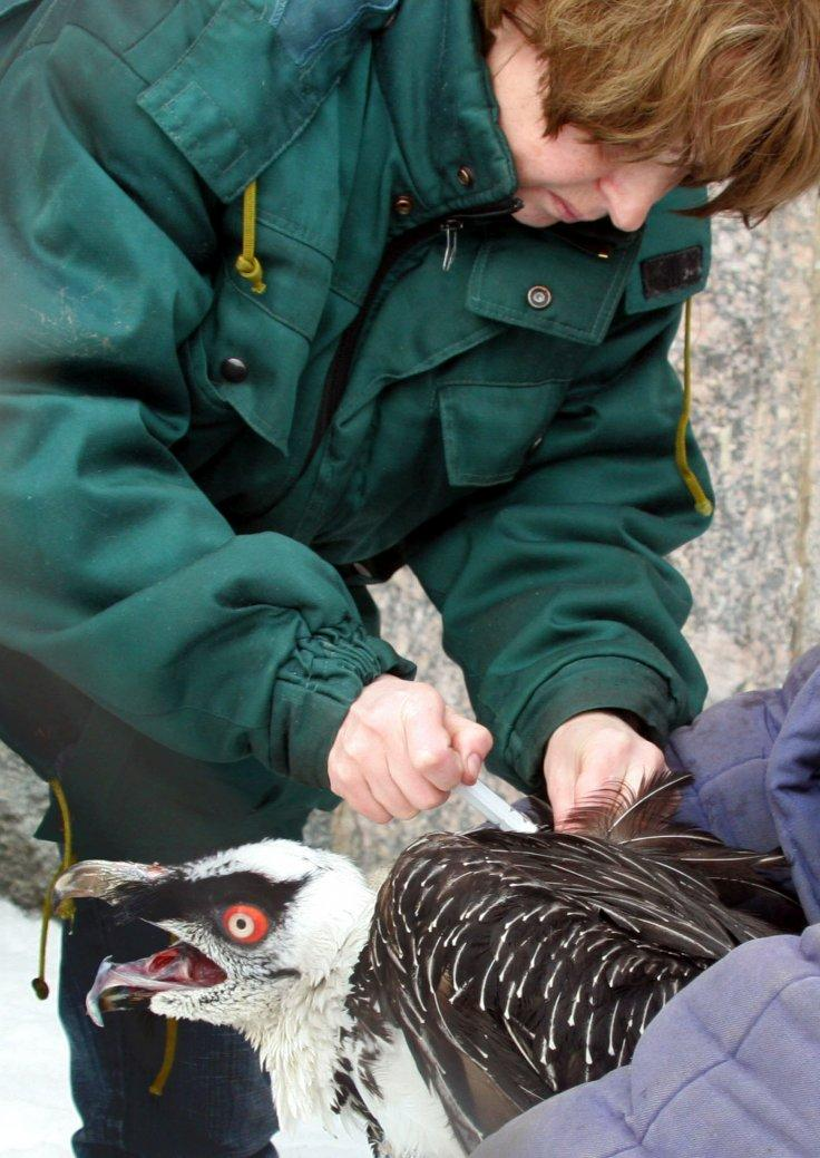 A veterinary surgeon vaccinates a bearded vulture in Moscow's zoo