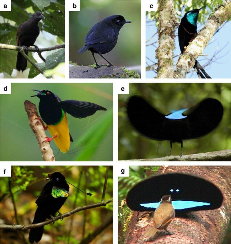 Different species of birds-of-paradise