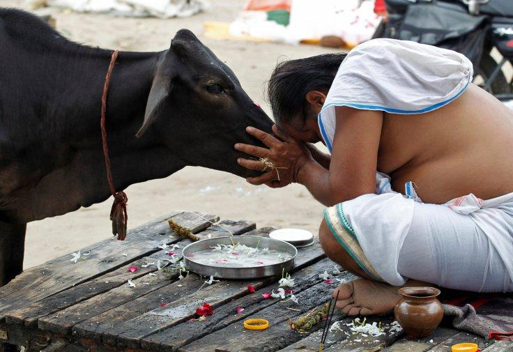 A Hindu devotee offers prayers to a cow