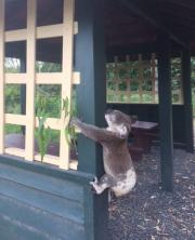 Koala death in Australia