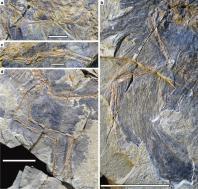 Photographs of the pectoral girdle and limbs of Caihong juji