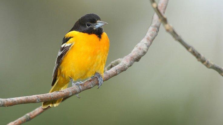 Baltimore Oriole -- Rondeau Provincial Park