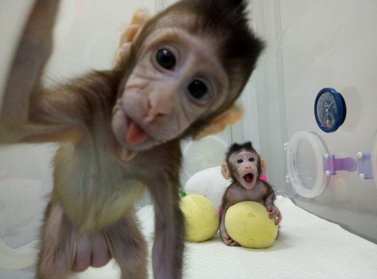 Cloned monkeys Zhong Zhong and Hua Hua are seen at the non-human primate facility at the Chinese Academy...