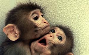 CLONED MONKEYS HUG EACH OTHER AT AN OREGON RESEARCH CENTRE