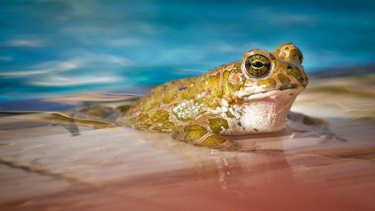Romeo frog