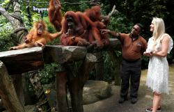orangutans at the Singapore Zoo