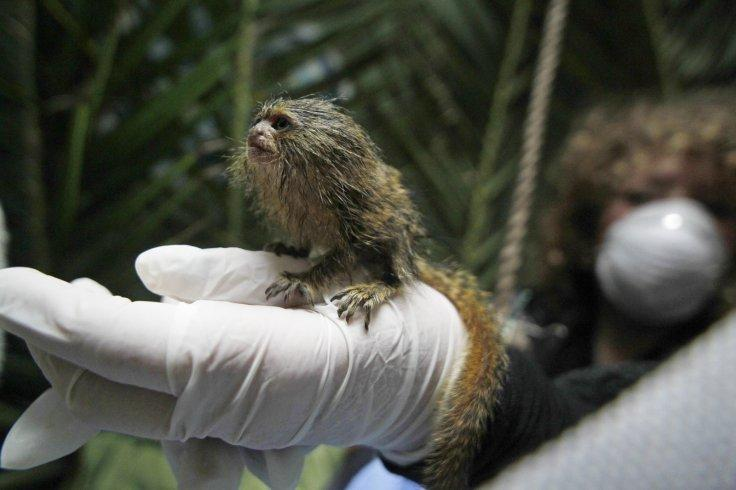 Pygmy Marmoset (Callithrix pygmaea) stands on the hand of a keeper at a primate rescue and rehabilitation center near Santiago