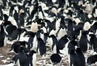Adélie penguin colonies