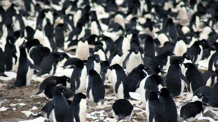 Adélie penguin colonies