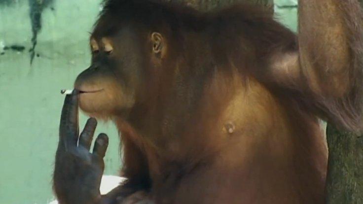 Indonesia smoking orangutans