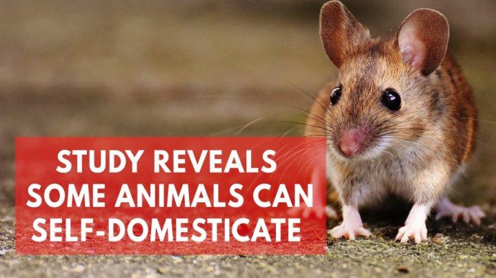 study-suggests-mice-can-domesticate-themselves-without-human-interference