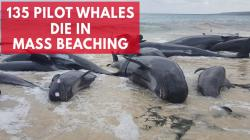 hundreds-of-beached-whales-dead-in-australia