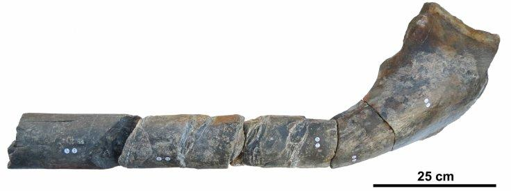 The jaw bone of a giant ichthyosaur found on an English beach is pictured in this undated handout photo obtained by Reuters April 9, 2018. Scientists have determined that the huge marine reptile that lived 205 million years ago during the Triassic period