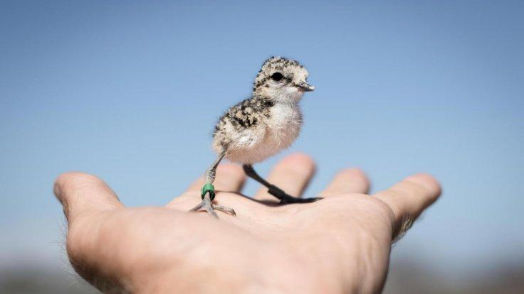 This is a plover chick (Luke Eberhart-Philips)