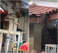 Python found in Bukit Batok