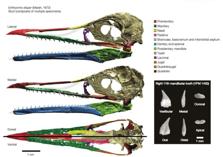 Full 3D reconstruction of the skull of I. dispar. A full 3D reconstruction of the skull of I. dispar is shown on the left. High-resolution scans of the right 11th mandibular tooth of YPM 1450 are shown on the right.
