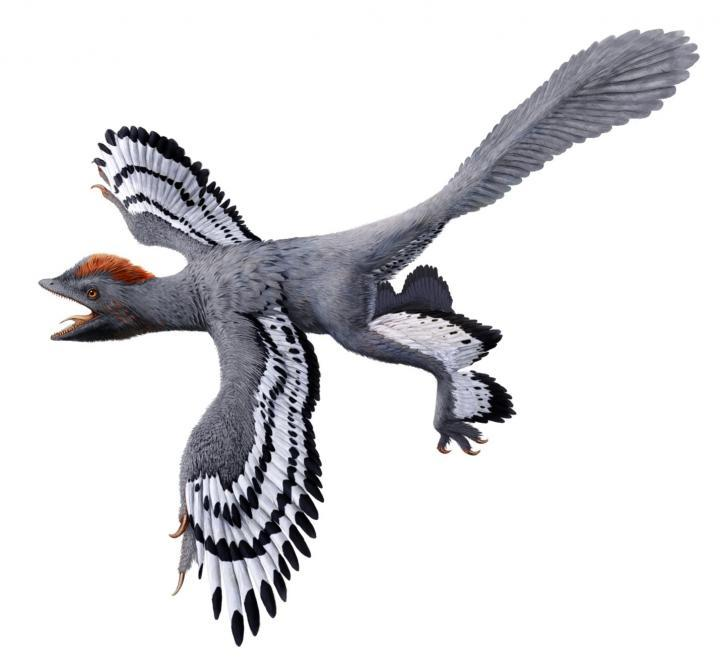 This is a life reconstruction of the bird-like feathered dinosaur Anchiornis. Revised life reconstruction using the new body outline laser-stimulated fluorescence data.
